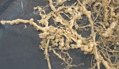 escrescenze nematodi galligeni