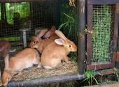 L'alimentazione dei conigli in pirmavera deve prevedere la graduale introduzione di erbe spontanee