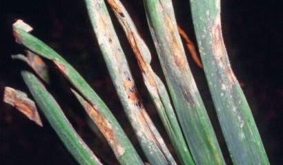 Peronospora su cipolla