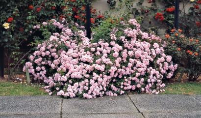rose rosaio
