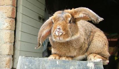 Coniglio colpito da croste sul naso