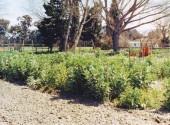 Coltivazione di fava dopo il pomodoro