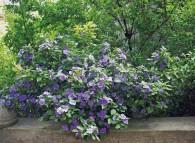 Splendida fioritura del gelsomino del Paraguay