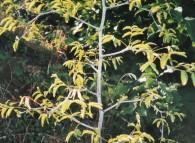 Giovane pianta di giuggiolo