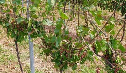 Grappoli di uva gravemente danneggiati dalla grandine