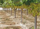 Impianto di irrigazione in vigneto di uva da tavola prossimo alla raccolta dell'uva