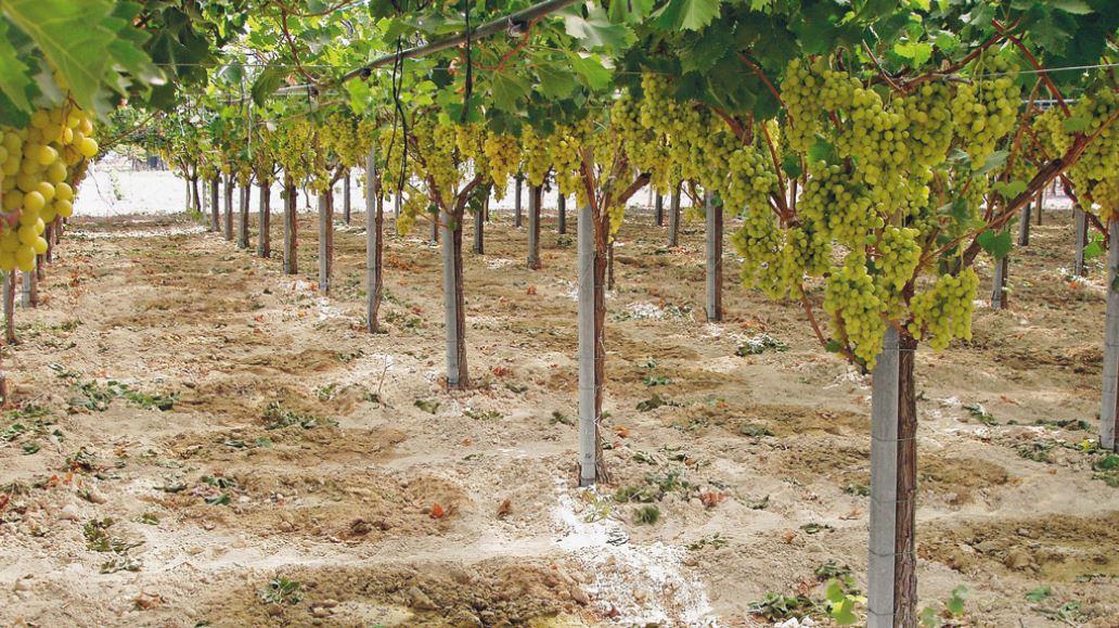 Irrigazione Del Vigneto Di Uva Da Tavola Quasi Pronto Per La