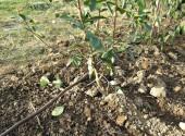 Impianto di irrigazione e goccia di una siepe