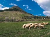 Piccolo gregge di pecore al pascolo