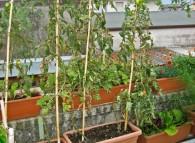 pomodoro foglie secche