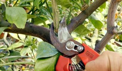 Potatura degli agrumi in vaso: vanno eliminati i succhioni.