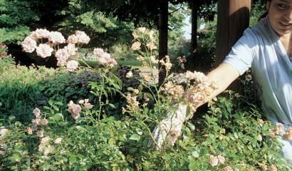 potatura estiva dei rosai