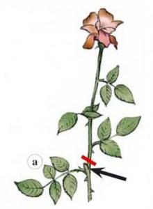 Nella potatura estiva dei rosai il taglio va eseguito appena sopra la prima vera foglia