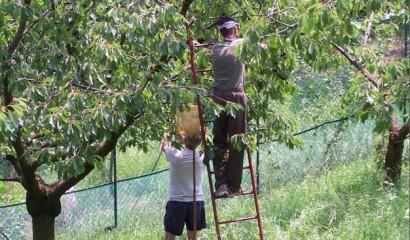 raccolta delle ciliegie scala