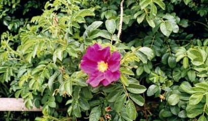rosa rugosa fioritura
