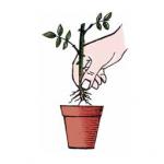Quando sono spuntate le radici si travasa ogni singola talea