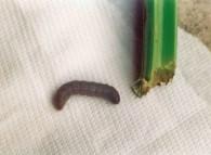 Larva vicino al colletto corroso di sedano
