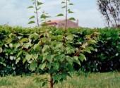 Albicocco al primo anno di allevamento