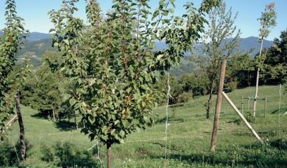 Albicocco al secondo anno di allevamento