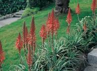 Pianta di Aloe arborescens in giardino