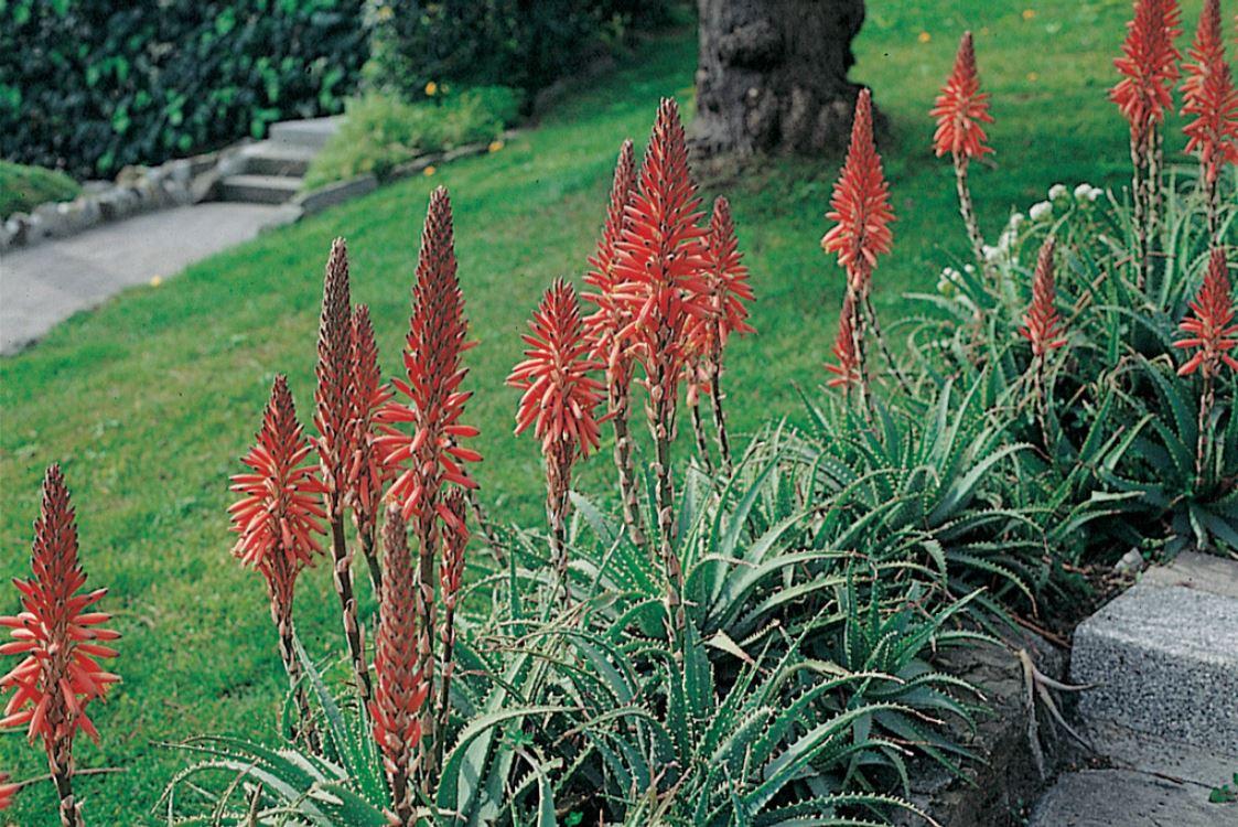 Aloe In Giardino aloe arborescens - vita in campagna