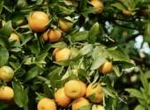 Rami di arancio con frutti