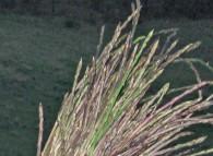 Mazzetto di asparagi selvatici