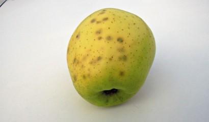 Mela colpita da butteratura del melo