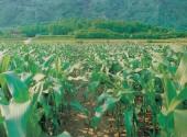 Campo coltivato a mais