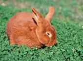 Coniglio maschio al pascolo