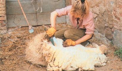 Una signora mentre tosa una pecora