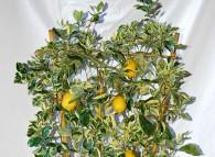 Limone in vaso messo al riparo nella stagione fredda