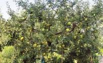 Piante di melo