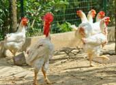 Muta delle penne delle galline