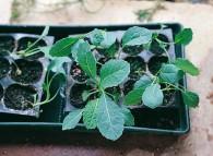 Piantine seminate in serra