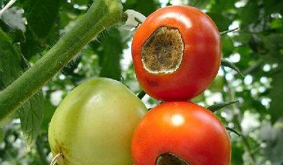 punta nera pomodori marciume apicale