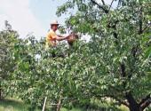 Raccolta delle ciliegie con scala
