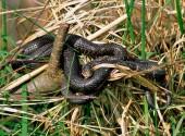 Serpente che facilmente si trova in campagna