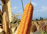 Spiga di mais, comunemente chiamata pannocchia