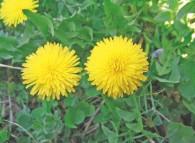 Pianticella di tarassaco che cresce spontanea anche in giardino