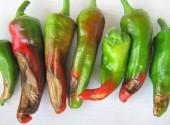 Peperoni con macchie secche, necrotiche, causate da ustioni per eccesso di calore
