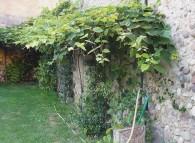 Pianta di uva fragola vicino ad un muro vecchio