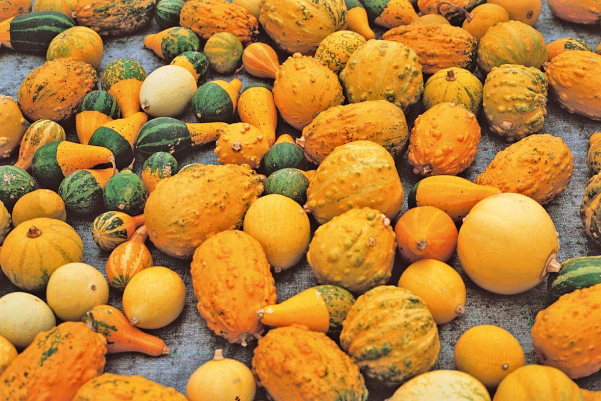 Varietà Zucchine Da Fiore zucche diverse da quelle di origine del seme - vita in campagna