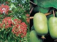 albero miele mini kiwi