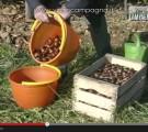 Conservazione delle castagne fresche