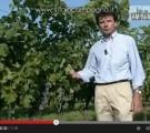 Enzo Corazzina spiega il diradamento dei grappoli