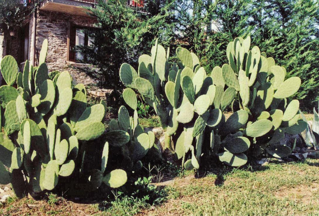 pianta fico dindia coltivazione