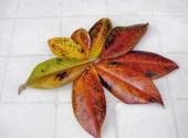 Foglie di magnolia secche a causa della clorosi