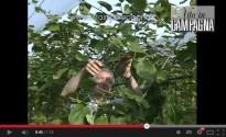 Potatura verde del kiwi