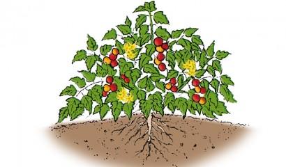 Disegno di una pianta determinata di pomodoro in orto